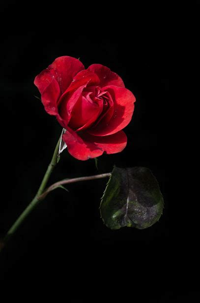 O My Luve's Like a Red, Red Rose - Editing Robert Burns