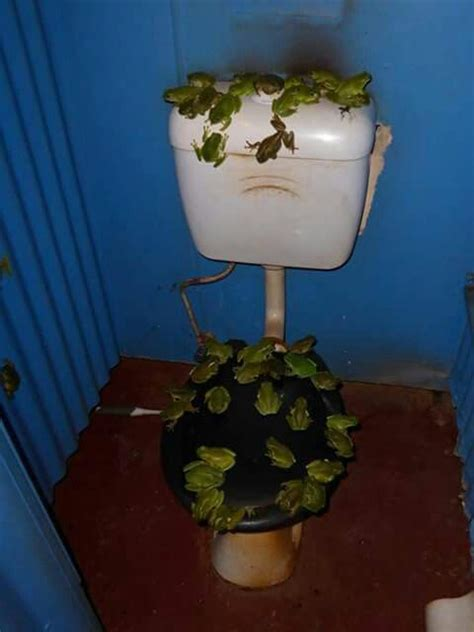 Check out these Green tree frogs in an outside toilet