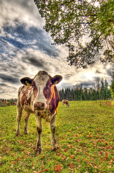 HDR Cow | Taken during a walk today