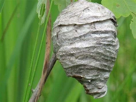 Stung by the Hornet's Nest: Hasse Sex-with-Insects Tale a