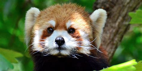 Curious red panda gets head stuck in a gift-wrapped box