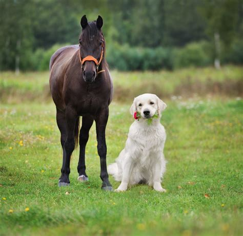 4 Dog Breeds That Work Well With Horses   Greenfield Puppies